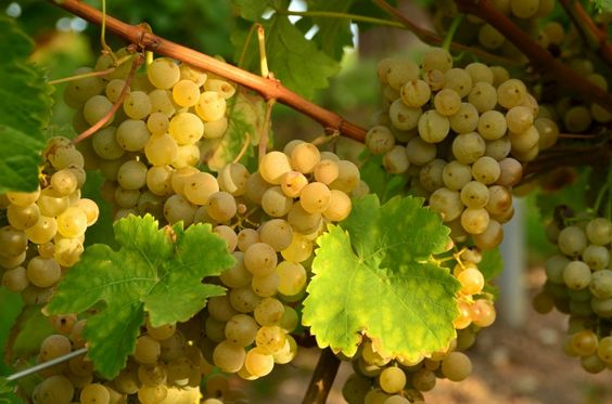 Месяц Виноградной лозы